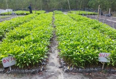 Thử nghiệm gieo ươm cây con thân thiện với môi trường hướng đến quản lý rừng trồng bền vững trên địa bàn tỉnh Thừa Thiên Huế